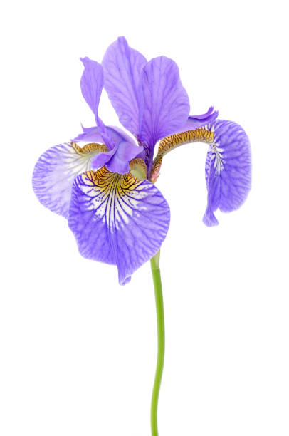 iris flower isolated on white background - iris flower stock photos and pictures