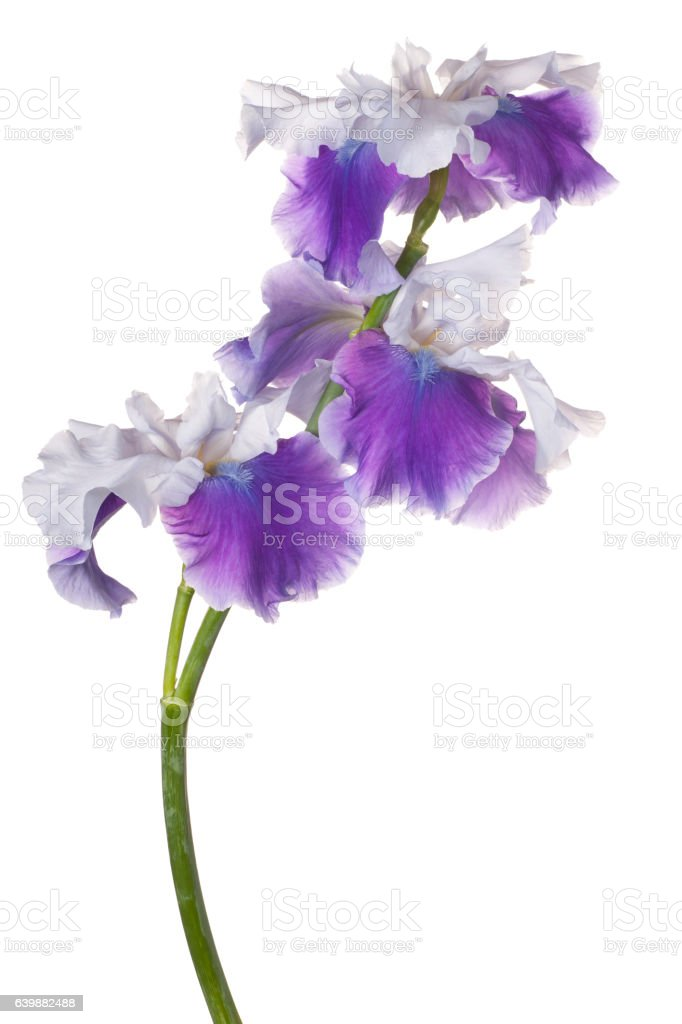 iris flower isolated stock photo