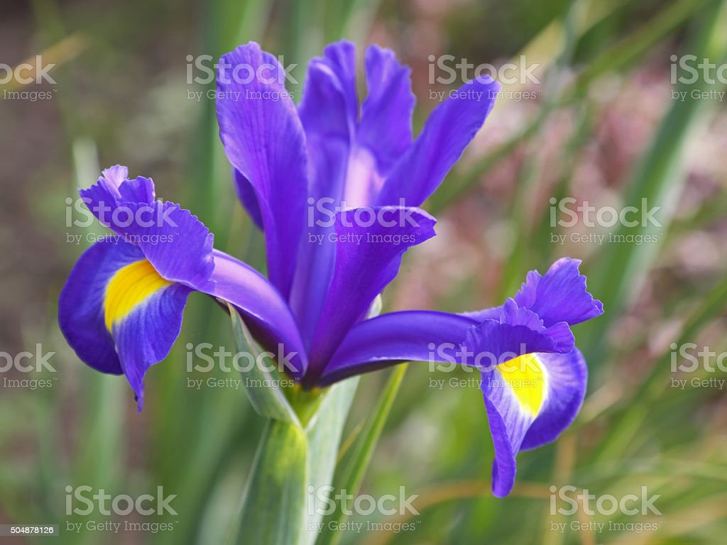 Iris Flower Of The Variety Blue Magic Stock Photo More Pictures Of