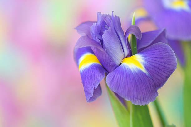 iris flower - iris flower stock photos and pictures