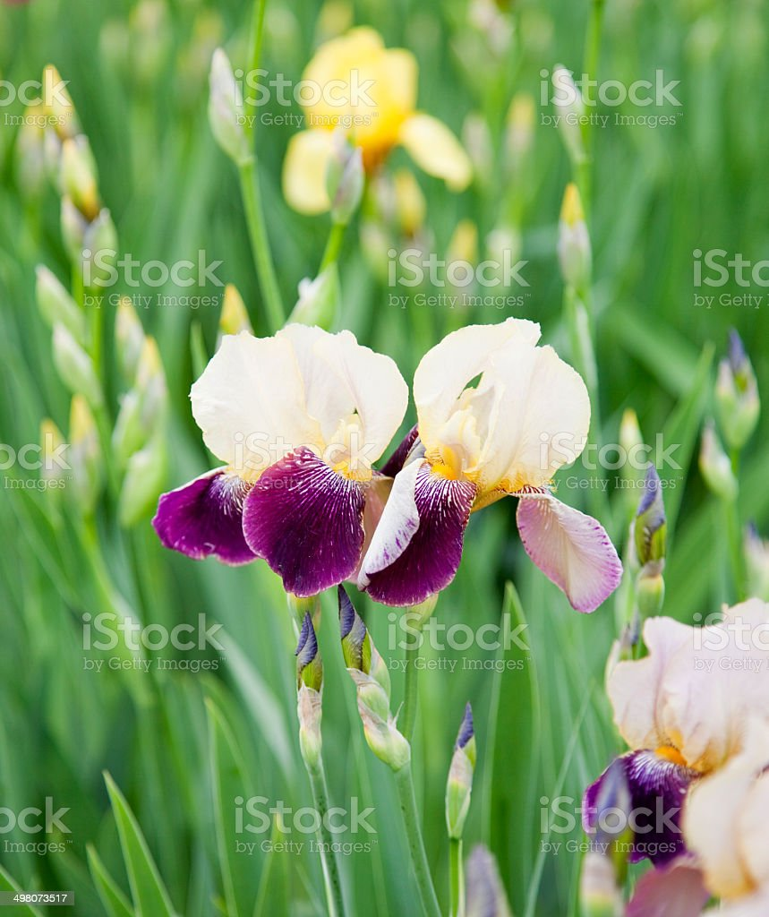Iris flower stock photo more pictures of annual istock iris flower royalty free stock photo izmirmasajfo