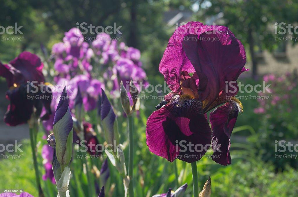 iris flower royaltyfri bildbanksbilder