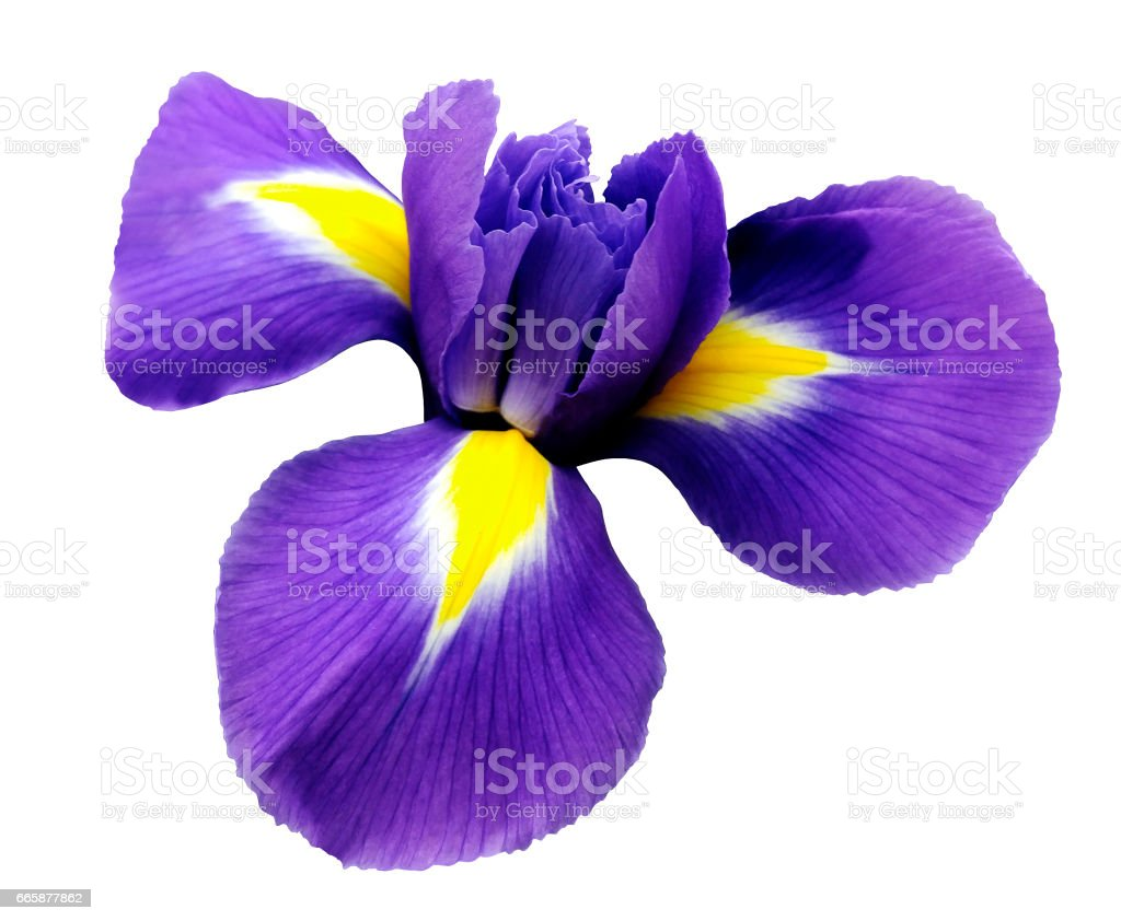 Iris Flower White Isolated Background With Clipping Path Closeup No