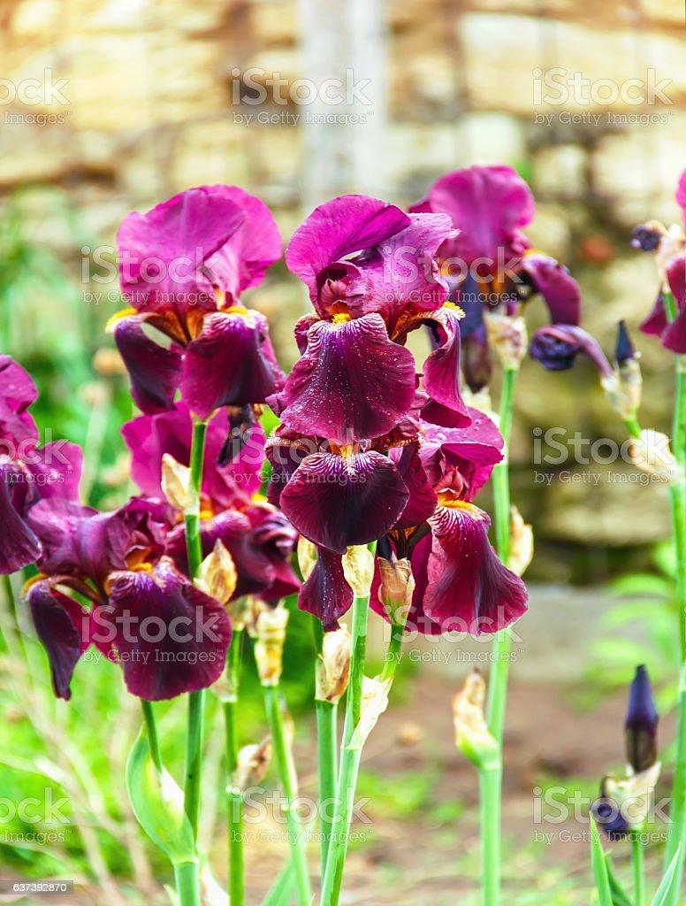 Iris flowers a beautiful spring flower bright color stock photo iris flowers a beautiful spring flower bright color royalty free stock photo izmirmasajfo