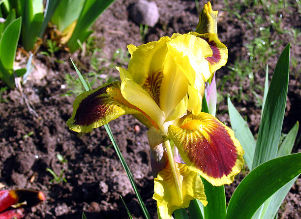 Iris Flowers - Be Dazzled Be Dazzled dazzled stock pictures, royalty-free photos & images