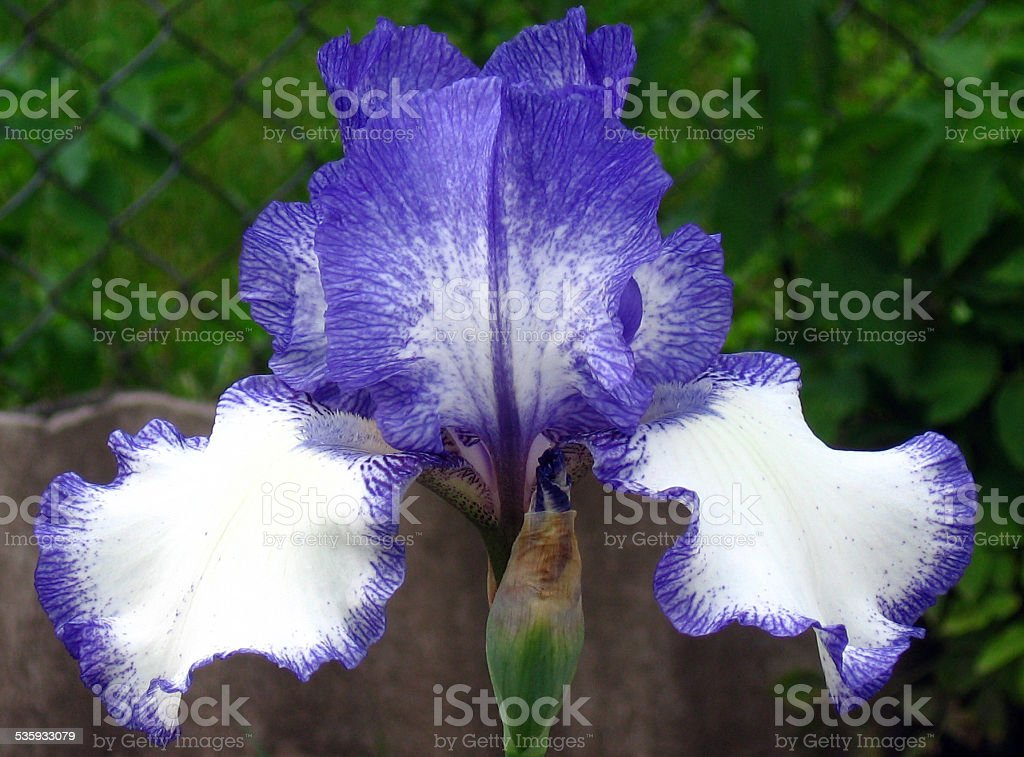 Iris Flowers - Blue Staccato stock photo