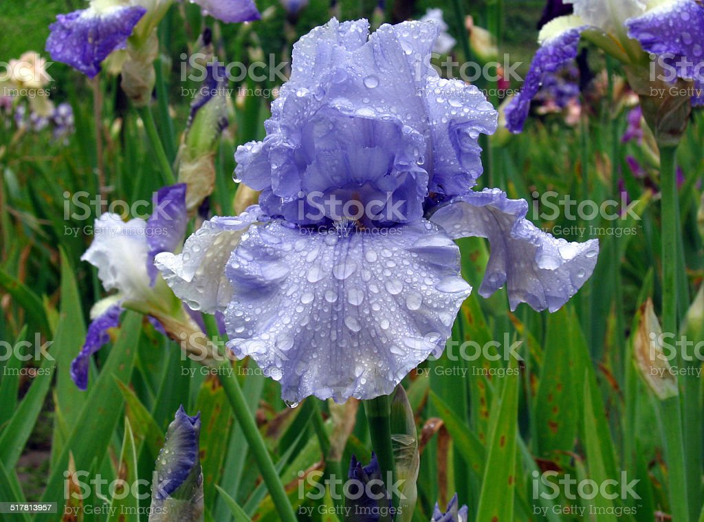 Iris Flowers - Friendly Seas stock photo
