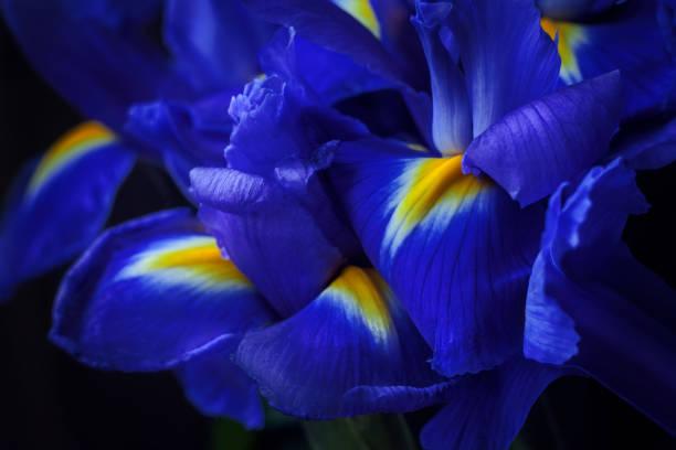 iris flowers macro - iris flower stock photos and pictures