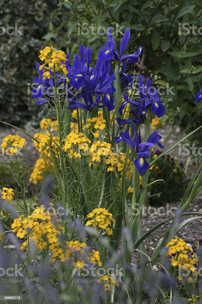 Iris garden flowers royalty free stockfoto