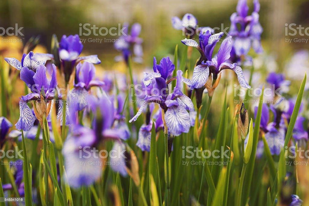 Iris Garden stock photo