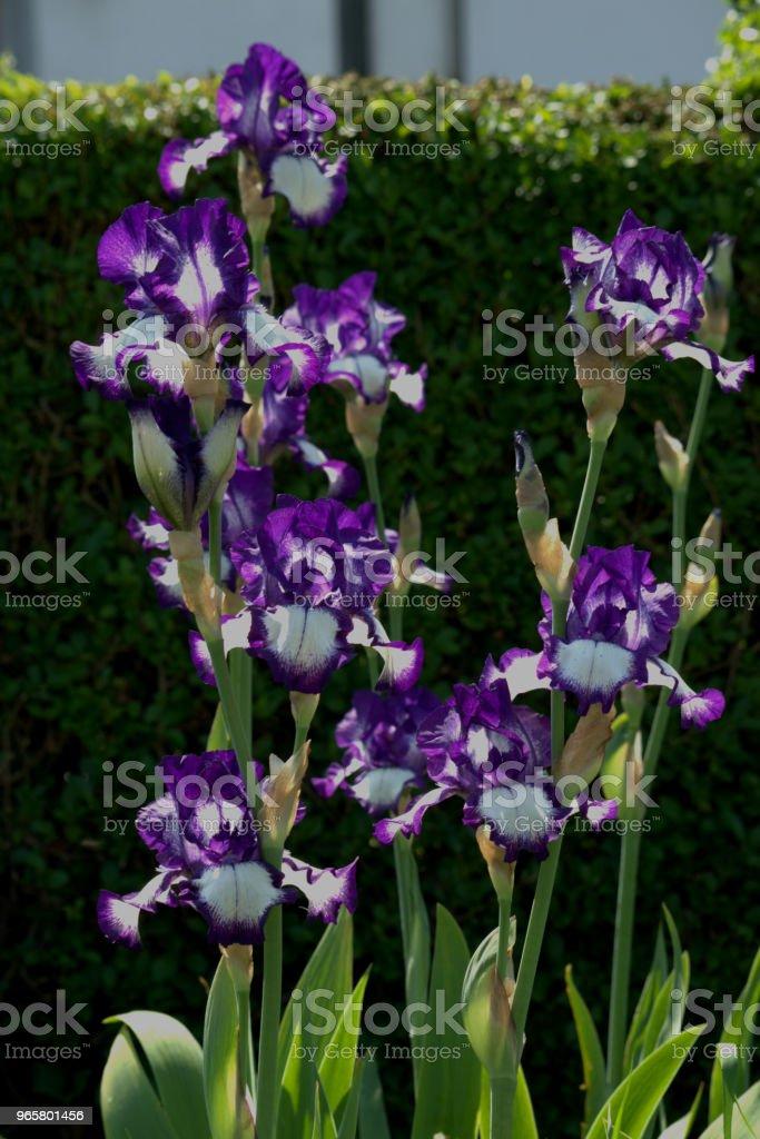 Iris germanica, Bearded iris. - Royalty-free Bearded Iris Stock Photo