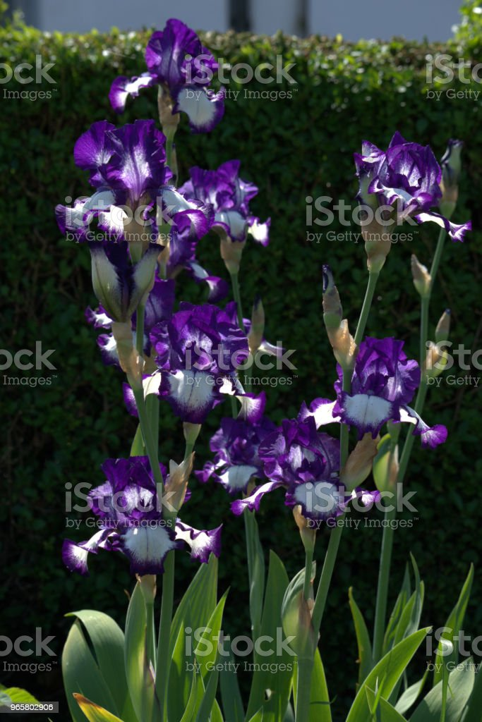 Iris germanica, Bearded iris. - Royalty-free Bearded Iris Stock Photo