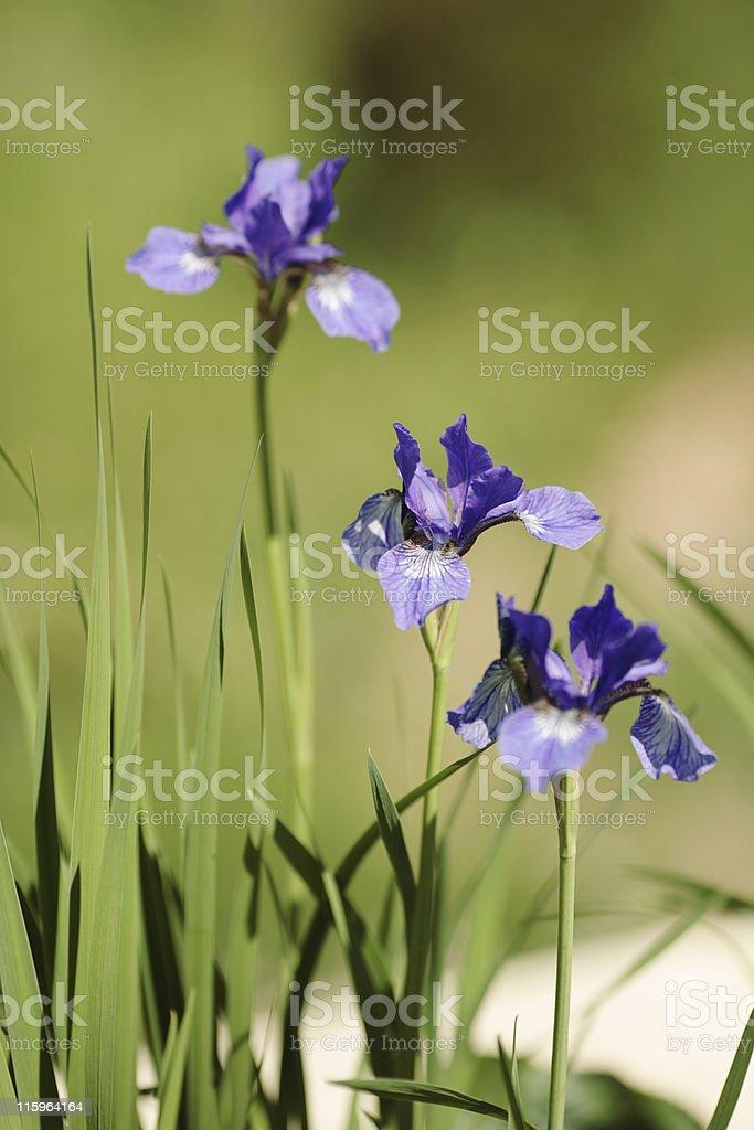 Iris in the garden royalty-free stock photo