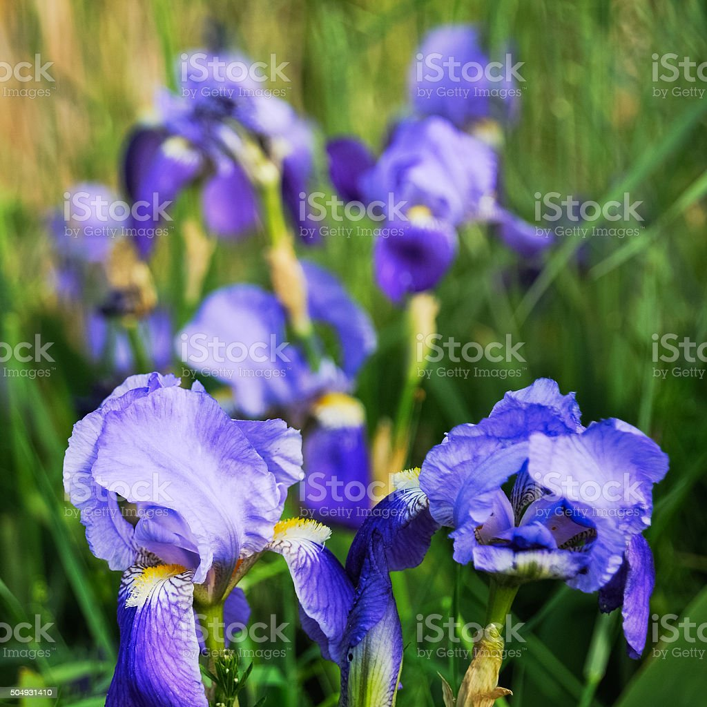 Iris In The Reeds Stock Photo More Pictures Of Blue Flag Iris Istock