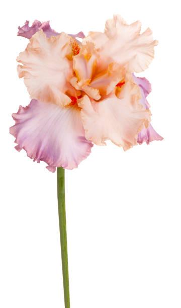 iris isolated on white - iris flower stock photos and pictures