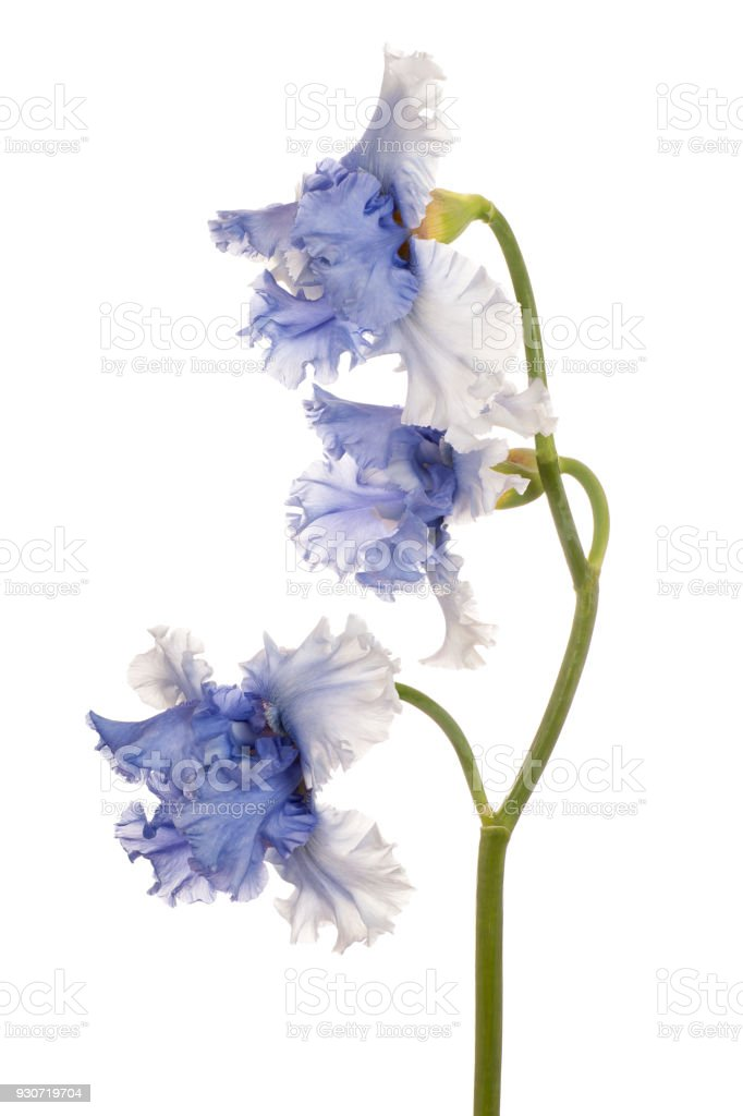iris isolated on white stock photo