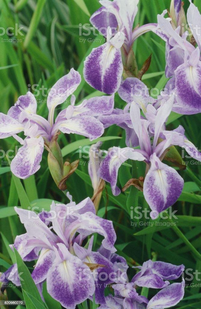 Iris laevigata stock photo