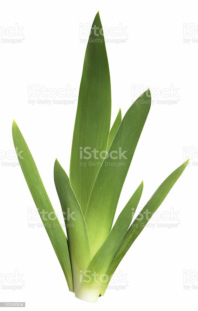 Iris Leaves Isolated on White royalty-free stock photo