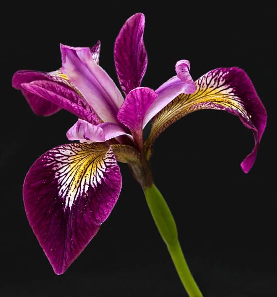 iris on black - iris flower stock photos and pictures