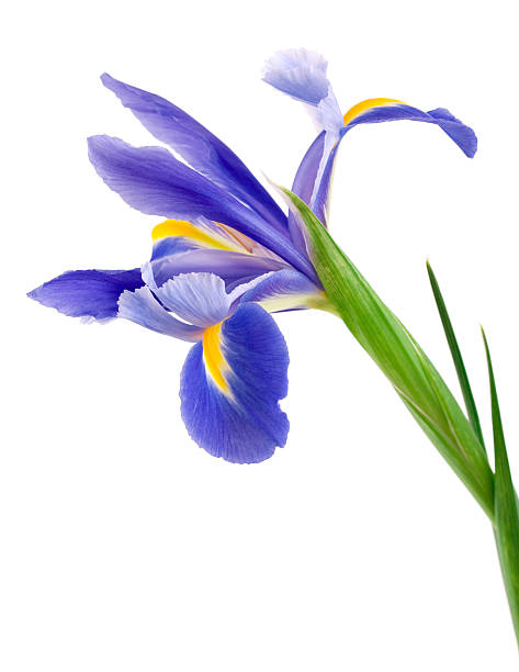 iris on white background - iris flower stock photos and pictures