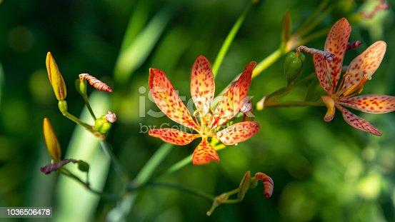 Iris domestica flowers