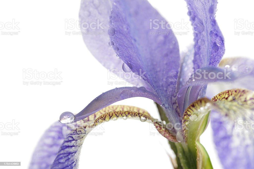 - Iris – Foto