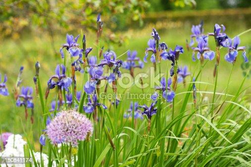 istock Iris 180841174