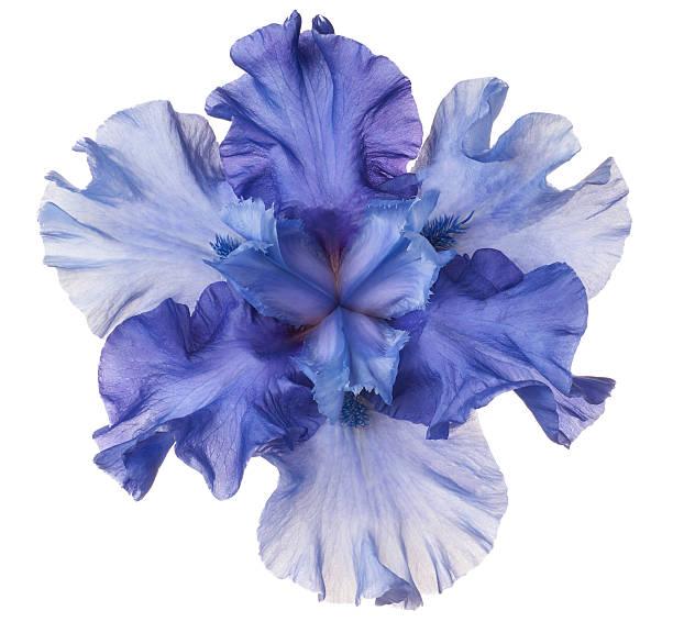 Iris picture id514310332?b=1&k=6&m=514310332&s=612x612&w=0&h=slkzmak3fgbqxbnlj ngrrtmboqa5hrnkrcgl8totuo=