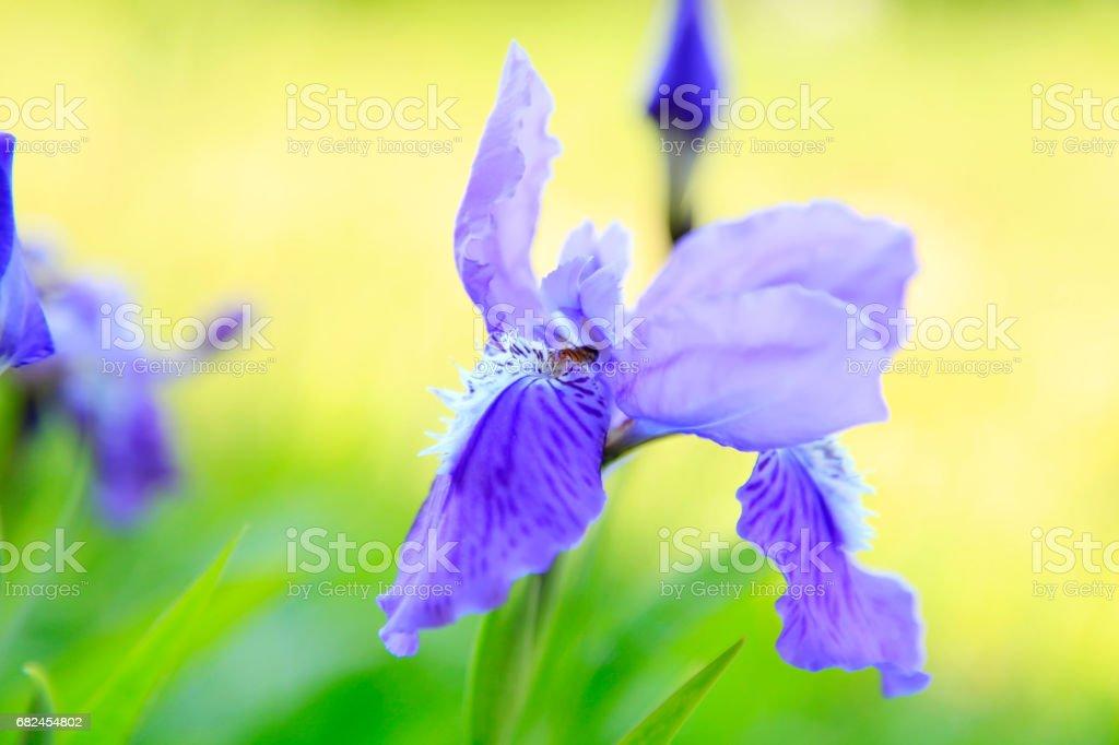 Iris foto de stock libre de derechos