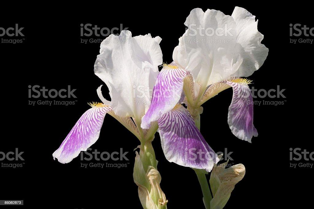 Iris photo libre de droits