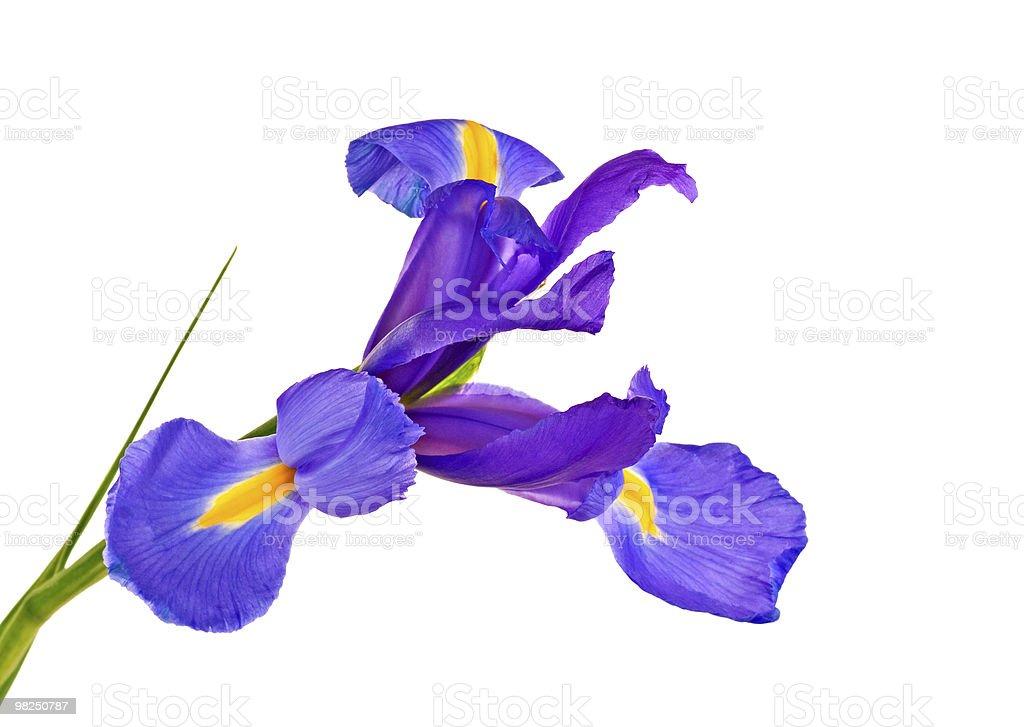 Iris foto stock royalty-free