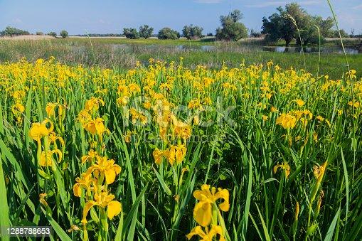 Iris pseudacorus (yellow flag, yellow iris, water flag) in bloom, Kopački rit, Croatia