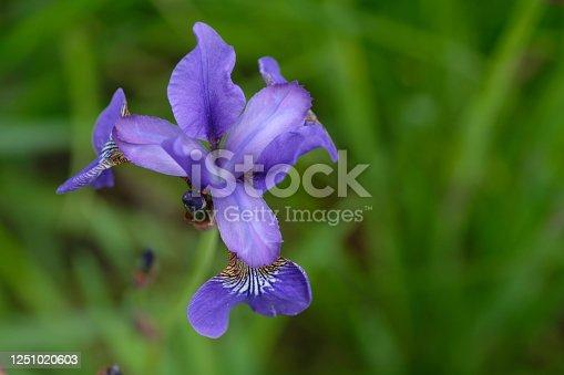 istock Iris pseudacorus. Purple flower on a green background 1251020603