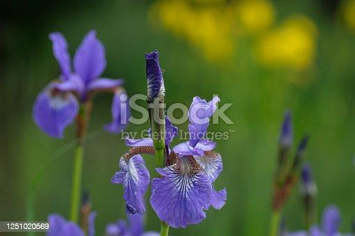istock Iris pseudacorus. Purple flowers on a green and yellow background 1251020569