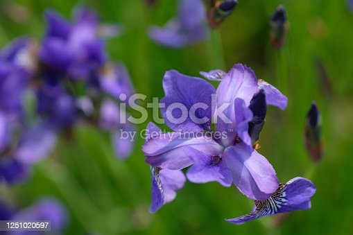 istock Iris pseudacorus. Purple flowers on a green backgrounds 1251020597