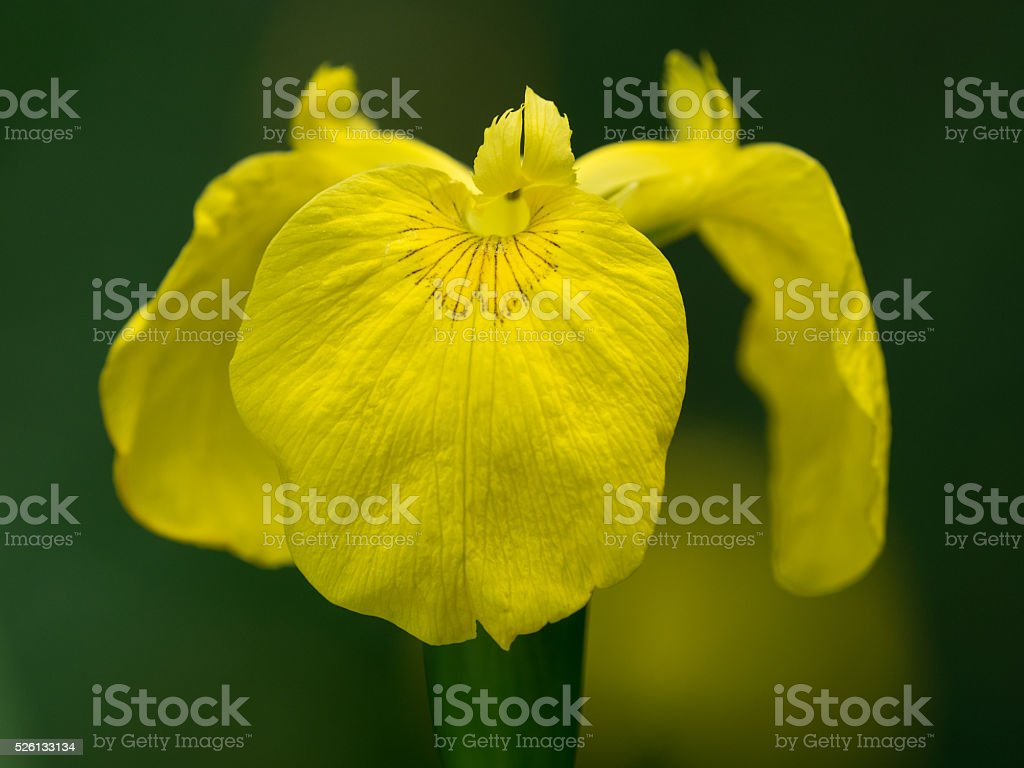 Iris Pseudoacorus Blooming In The Damp Place Stock Photo More