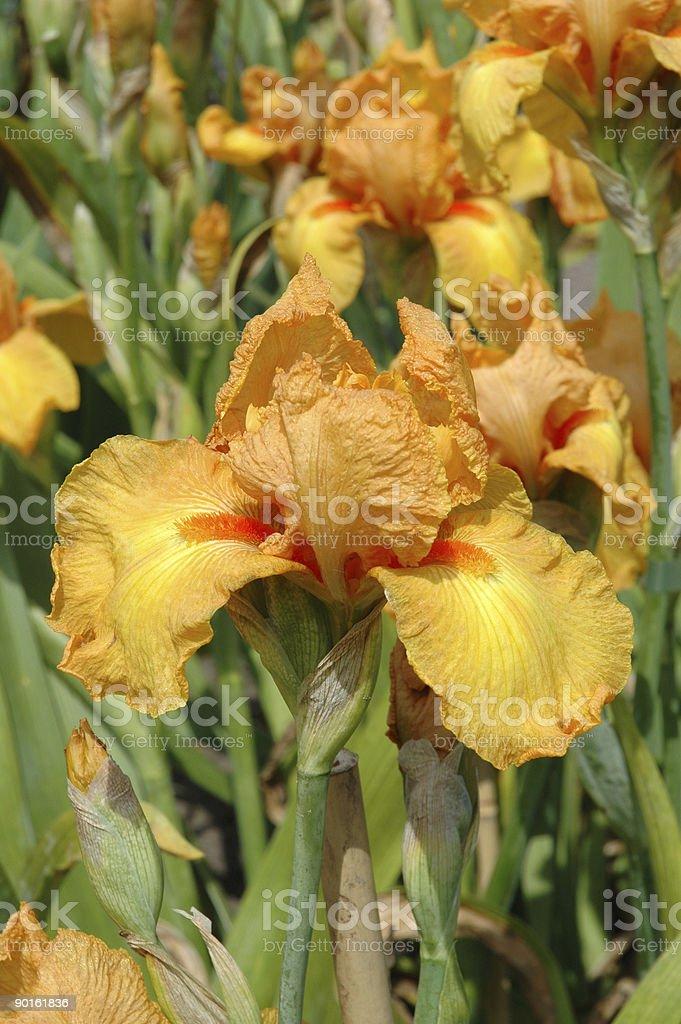 Iris Savannah Sunset royalty-free stock photo
