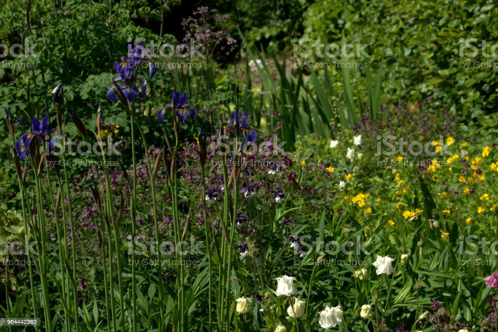 Iris Sibirica na fronteira herbácea mista - Foto de stock de Amarelo royalty-free