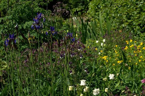 Foto de Iris Sibirica Na Fronteira Herbácea Mista e mais fotos de stock de Amarelo