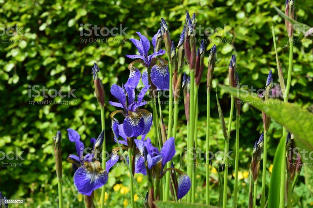 Iris sibirica, Siberian iris in a garden royalty-free stock photo