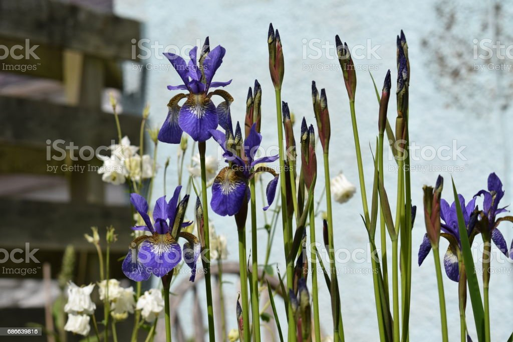 Iris sibirica, Siberian iris in flower and bud royalty-free stock photo