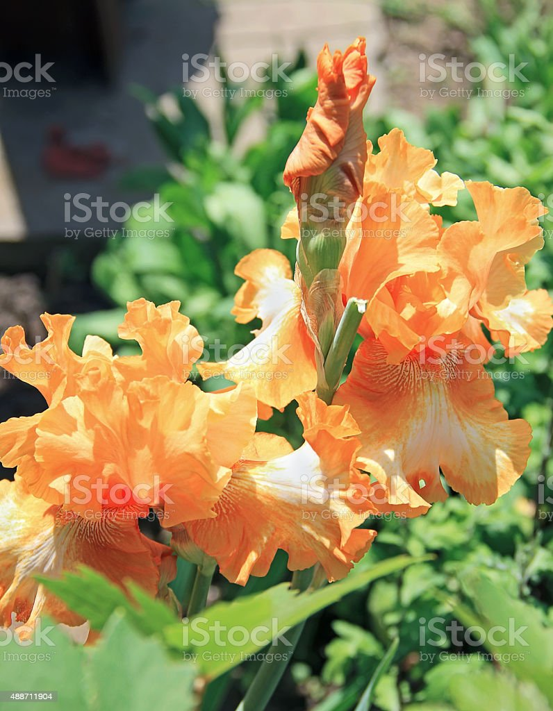 Iris yellow orange flower plant latin name iris outdoors stock photo iris yellow orange flower plant latin name iris outdoors royalty free stock mightylinksfo