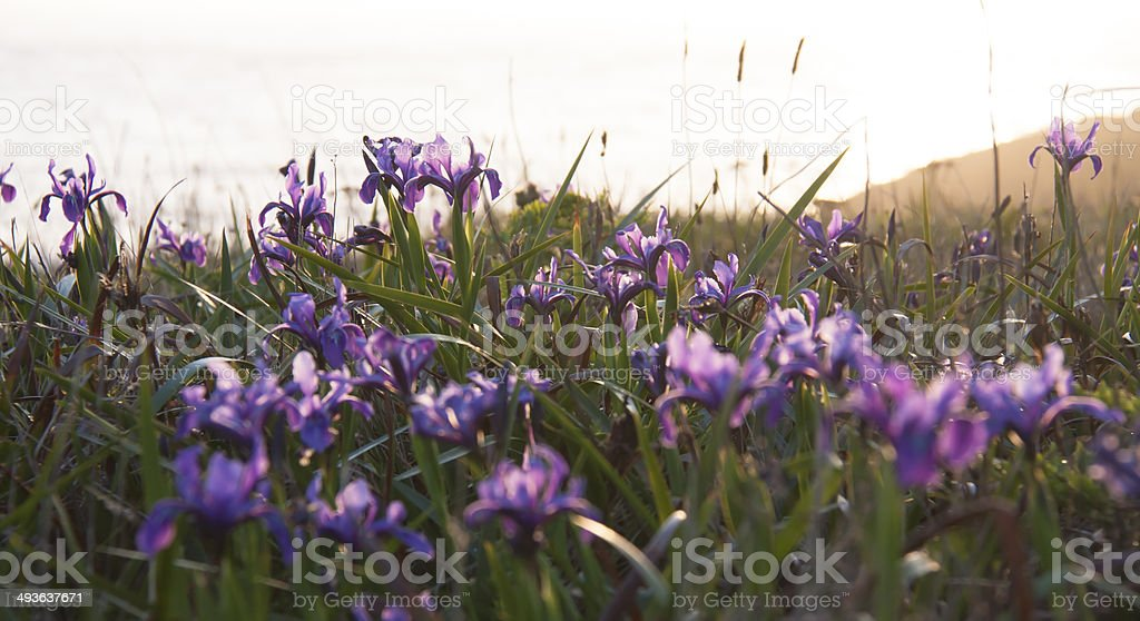 Irises at Sunset stock photo