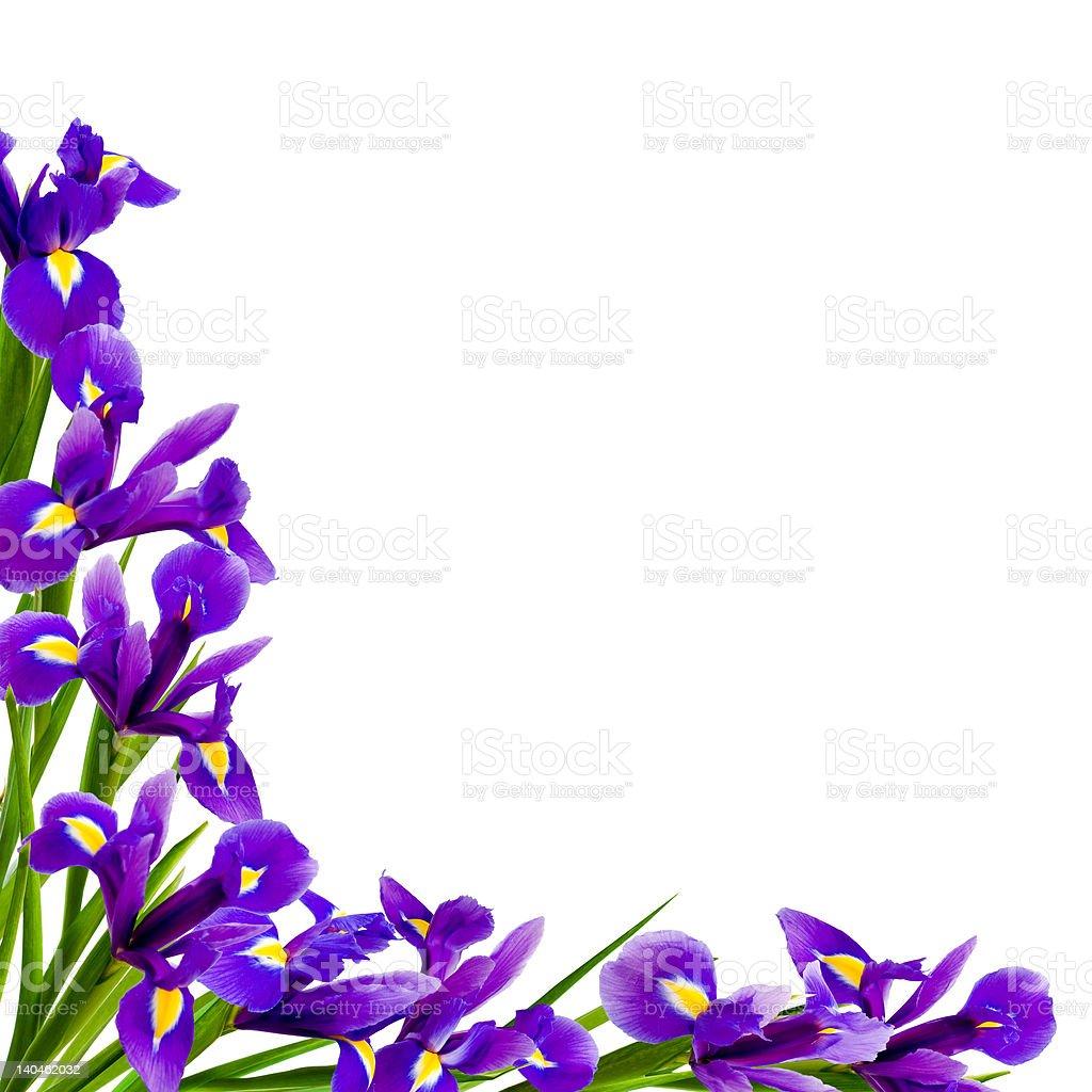 Irises border with copy space stock photo more pictures of blossom irises border with copy space royalty free stock photo izmirmasajfo Images