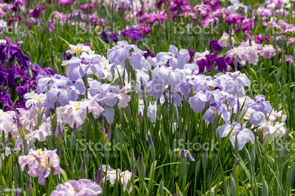 Irises In Iris Garden Stock Photo - Download Image Now - iStock