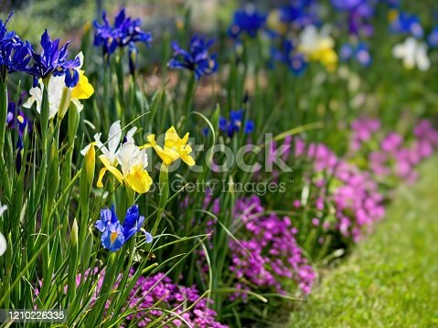 Multi-colored irises on the flowerbed in the late spring