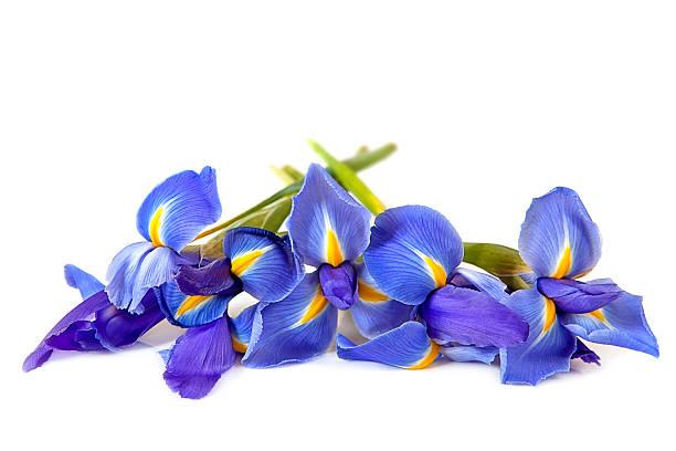 irises over white - iris flower stock photos and pictures