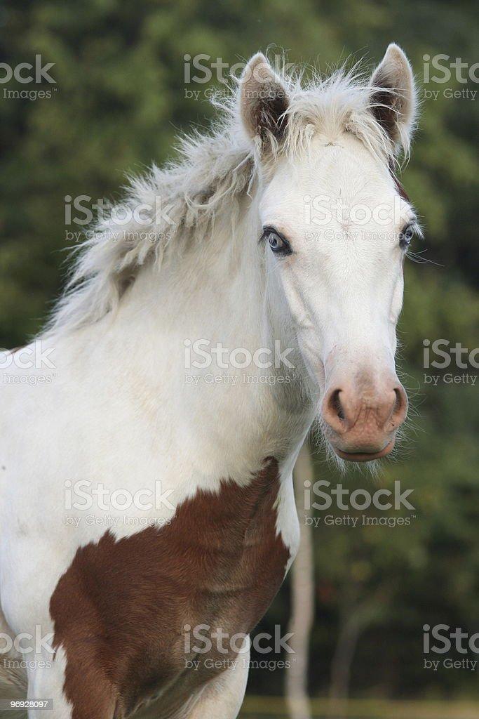 Irish cob foal royalty-free stock photo