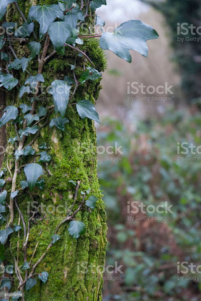 Irish forest stock photo