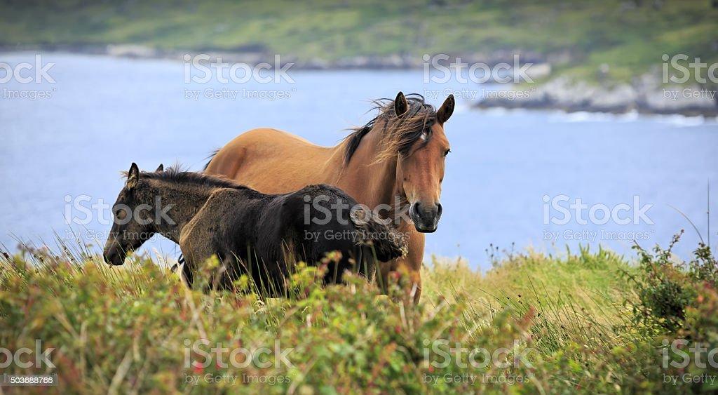 Irish horses in Connemara stock photo